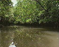 Mangrove forest, Queensland Australia.