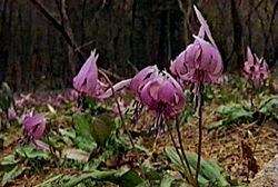 Dog tooth violet in flower