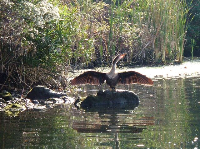 [2007+11+29+50+Better+Anhinga+Drying+wings,+Kings+Bay,+Crystal+River+Florida+001+(57).jpg]