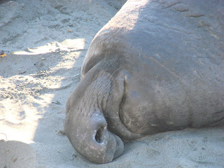 Elephant Seals Are Not Giant Slugs