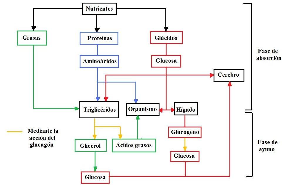 Del y apetito hambre fisiologia