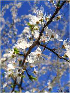 http://1.bp.blogspot.com/_xs_tJcVPzpE/RiszfzygeZI/AAAAAAAAAgc/dZ2xdCl1r3k/s320/Apple_Blossoms_III_by_darkcalypso.jpg