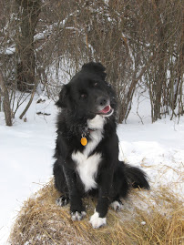 Polly Border Collie