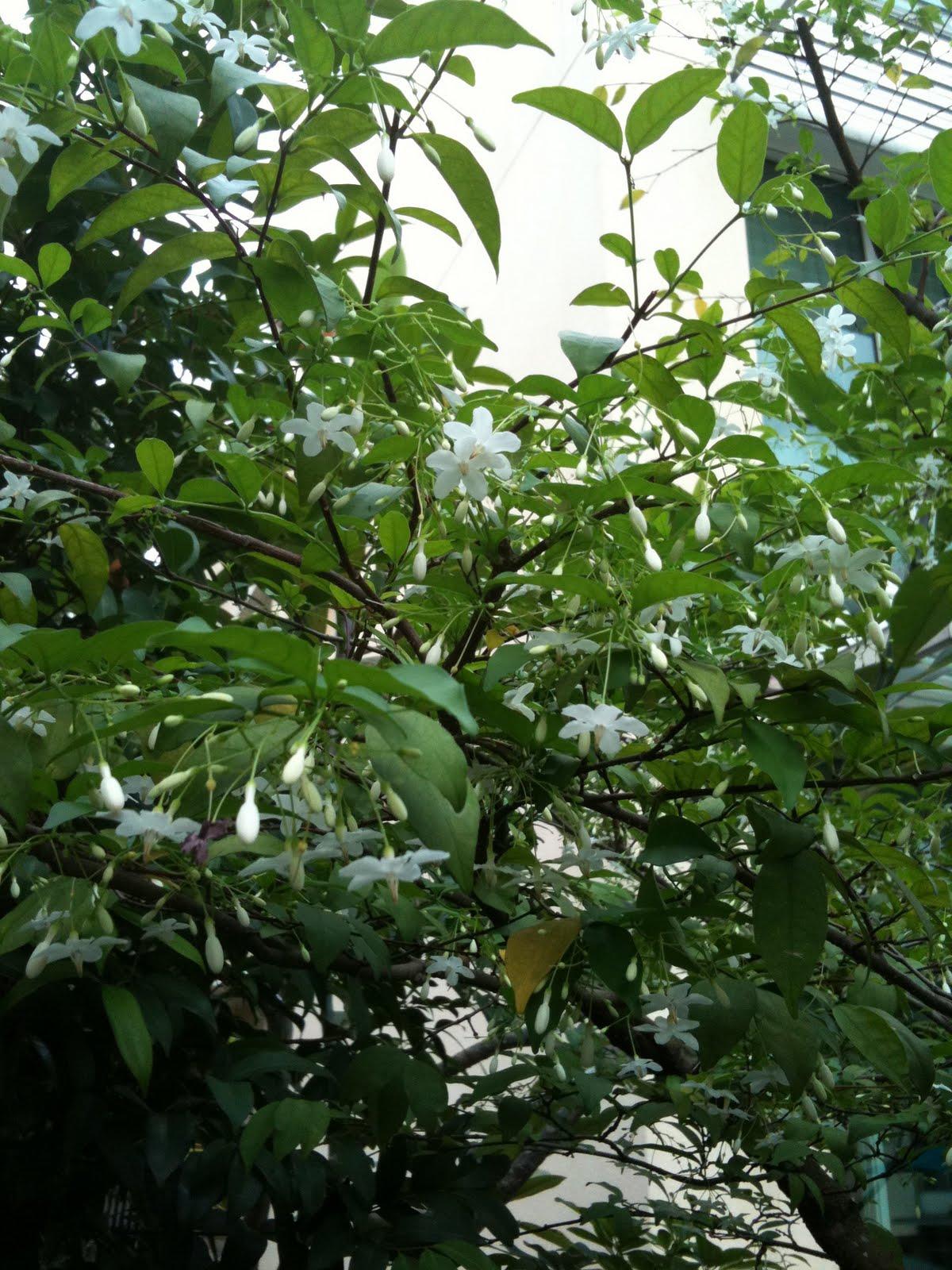 Mg Files Jasmine Tree