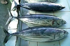 ikan tuna segar dan maknyus