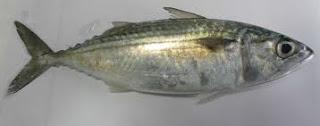 ikan kembung segar