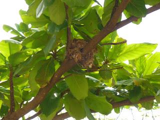 Ninho de passarinho na amendoeira