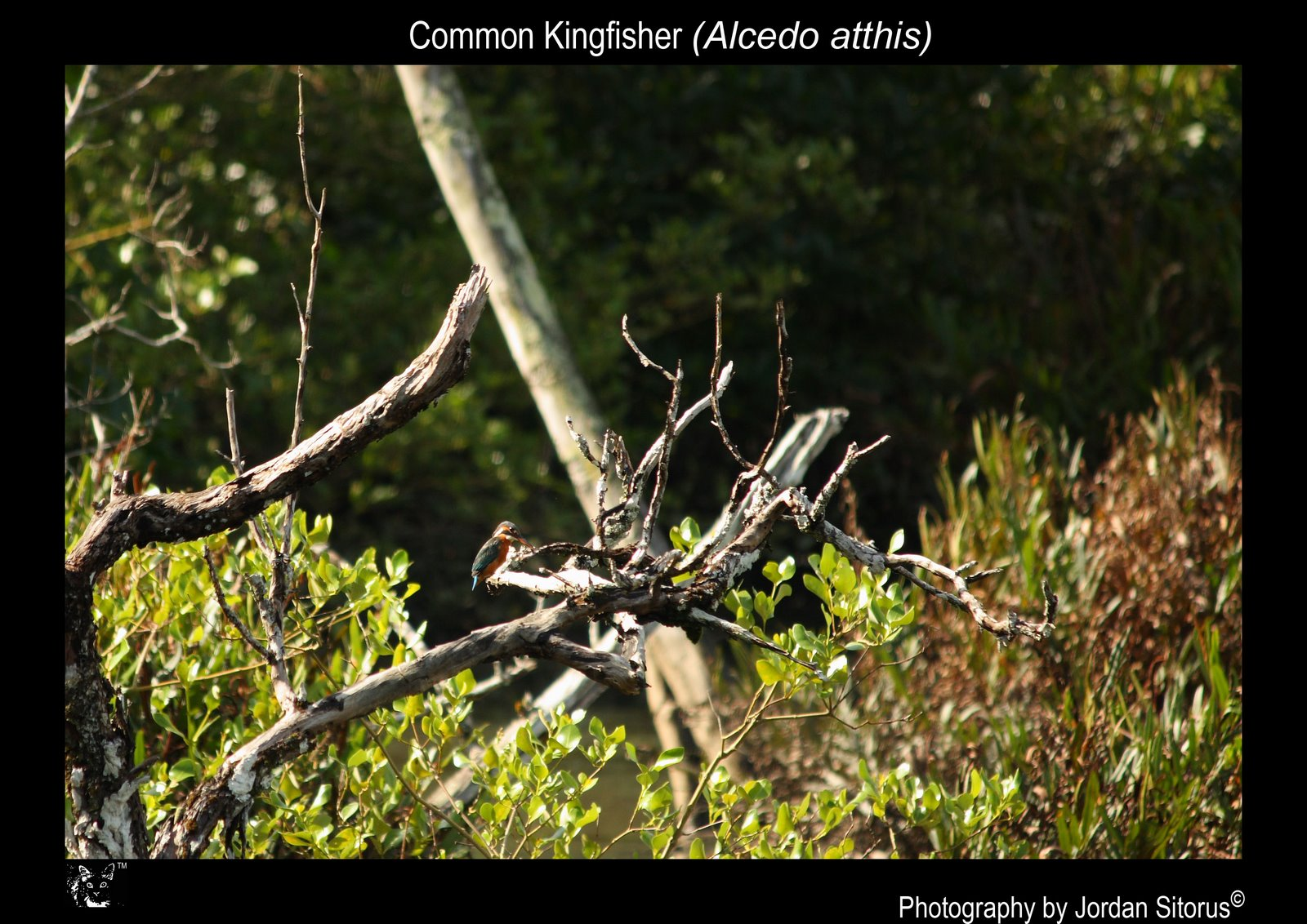 [Common+kingfisher+(Alcedo+Atthis).jpg]