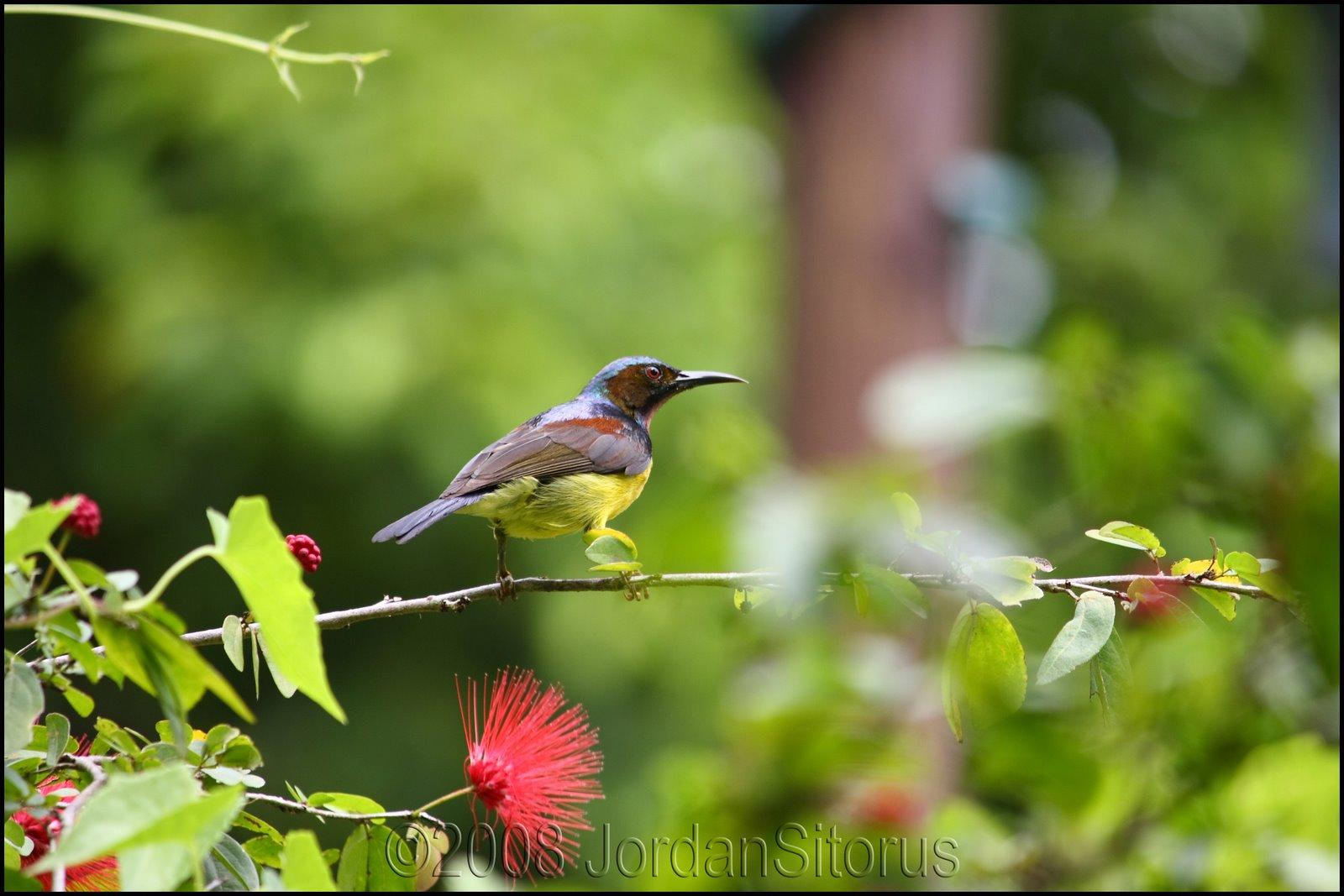 [Brown-throated+Sunbird.jpg]