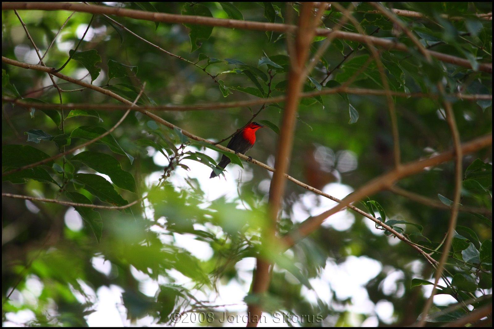 [crimson+sunbird+1.jpg]
