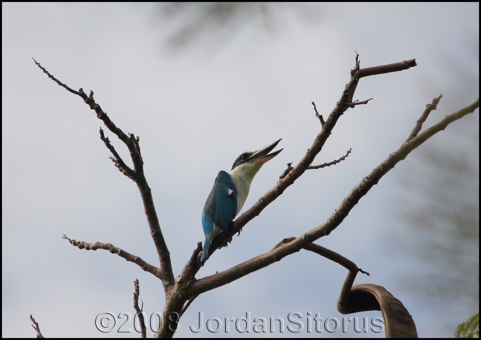 [White-collared+Kingfisher.jpg]