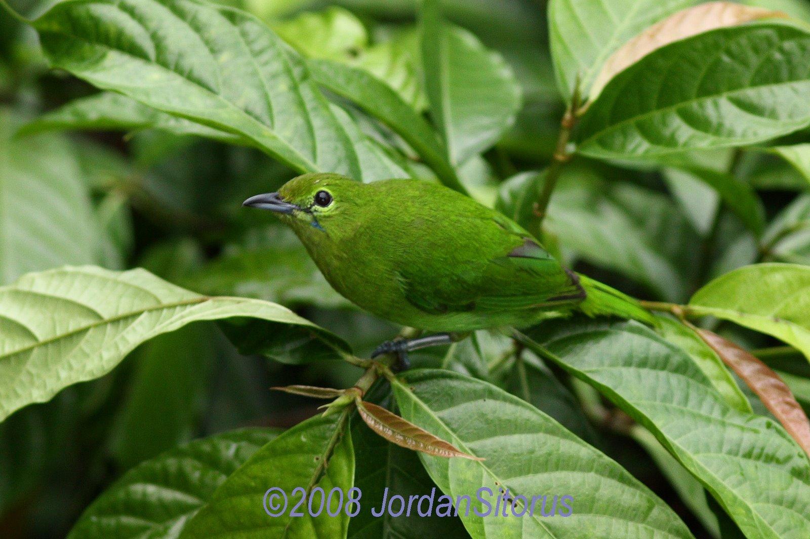 [Lesser+Green+Leafbird+(Chloropsis+cyanopogon)-Female.jpg]