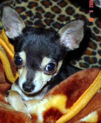 pomchi puppies for sale in maine
