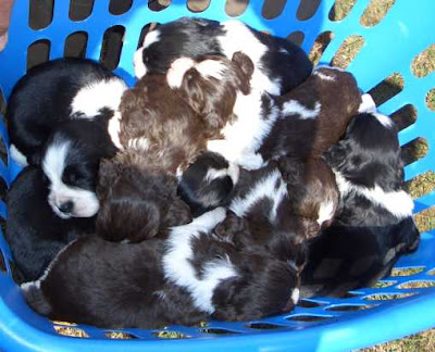 blue basket packed with lots of puppies all squashed inside photo