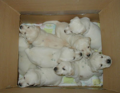 really cute group of white puppy dogs in a box photo