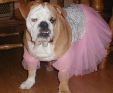 funny cute photo of bulldog dressed up in a pink tutu could be cruel if boy dog