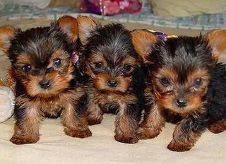 picture of three really cute terrier puppy dogs pose for photo