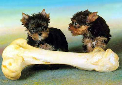 two cute terrier dogs on top of really big bone very cute picture