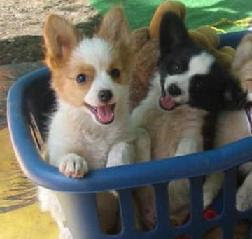 basket smiling papillon puppies
