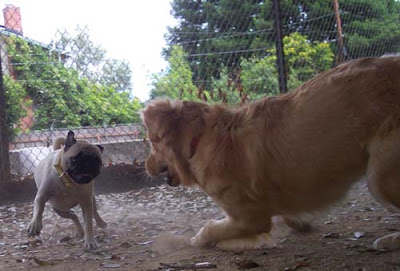 fighting dogs pug and retriever