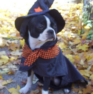 harry potter wizard halloween dog
