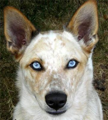 blue eyes australian dog