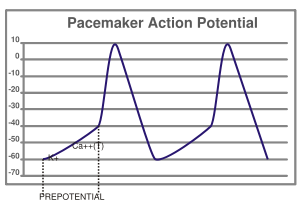 pacemaker activity of the heart