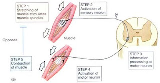 muscle spindle and reflex arc resemble servocontrollers