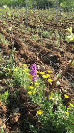 la flore des vignes
