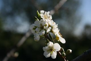 La flor del ciruelo, símbolo de la vida del samurai
