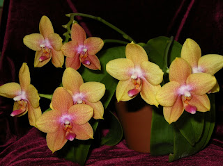 Phal. Taisuco Glory 'Fruit Loops'