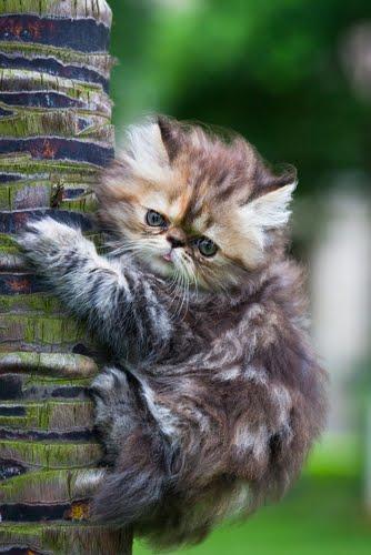 Cats Persian Cat
