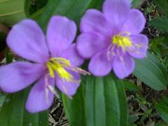 ungu lagi