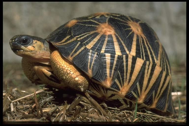 Tarta rughe tartaruga stellata for Incubazione uova tartaruga