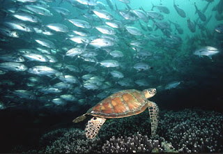 Tarta rughe immagini for Tartarughe marine letargo