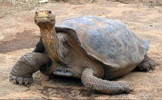 Tarta rughe galapagos tartaruga solitario gerorge avra for Incubatrice per tartarughe