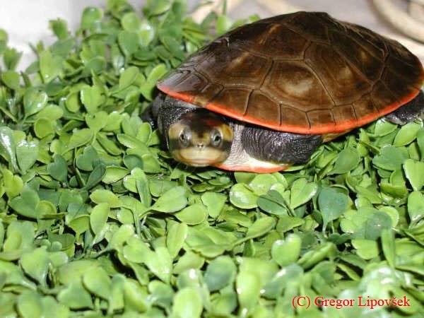 Tarta rughe tartaruga dal ventre rosso for Tartaruga acquatica letargo