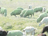 Sheep in Alien Clothing