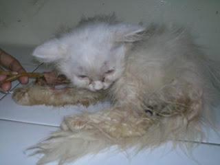 Pertolongan Pertama Pada Kucing Sakit Yang Lemas