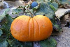 Πορτοκολοκύθα