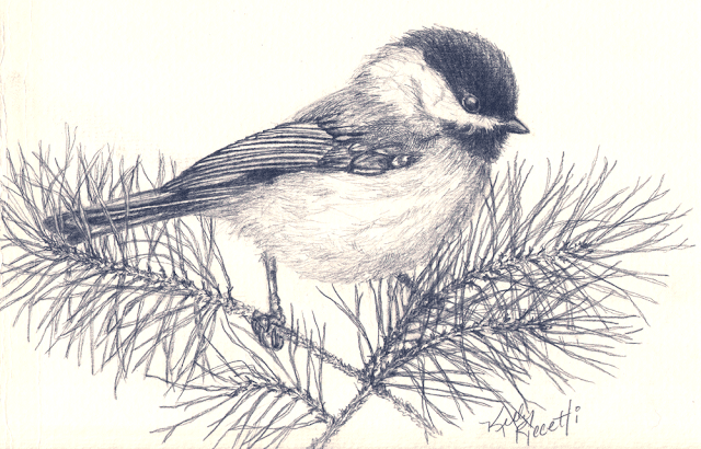 A pencil sketch of a Carolina Chickadee sitting on a pine bough (by Kelly Riccetti)