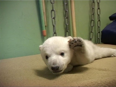 Knut- Polar bear in Berlin Zoo
