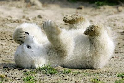 knut bear