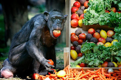 chimp chimpanzee eats fruits