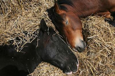 sleeping horses
