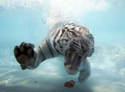 White Bengal Tiger Splash show
