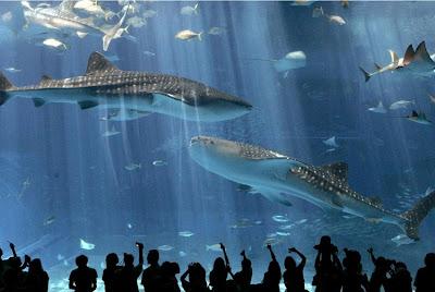 Sharks in Okinava
