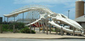 Scheletro di balenottera azzurra