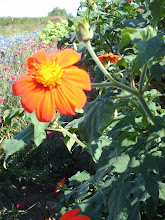 tithonia, or torch mariglod