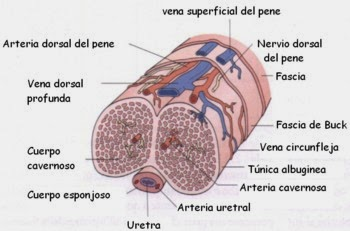 ereccion psicologica